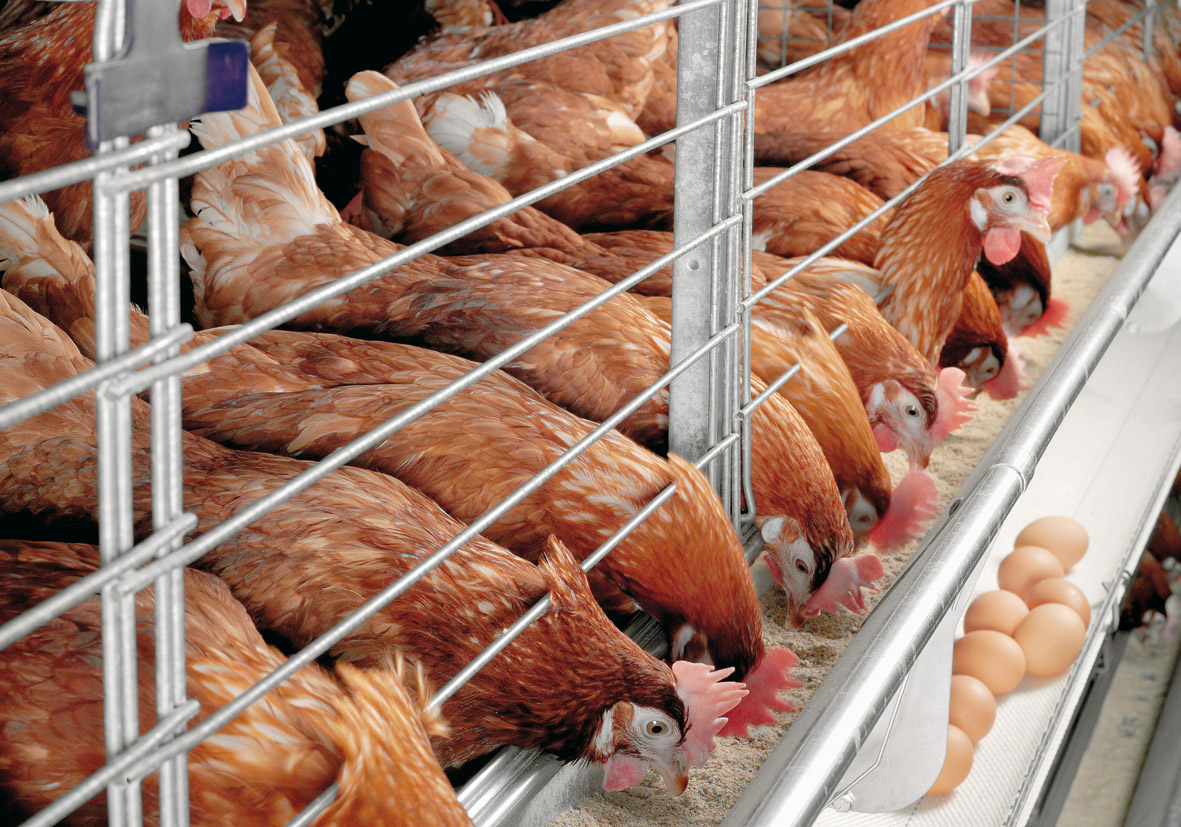 садовые картинка куры на птицефабрике собрали для
